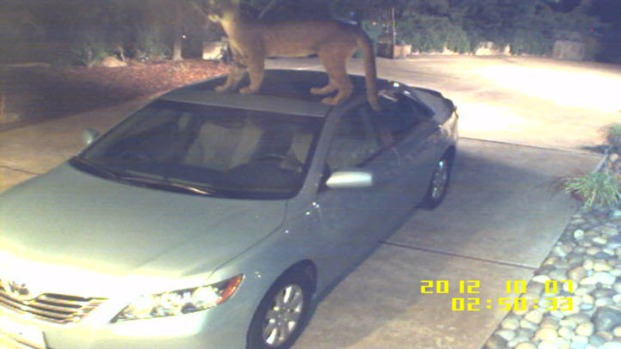 [BAY] RAW VIDEO: Mountain Lion Jumps Onto Car in San Jose