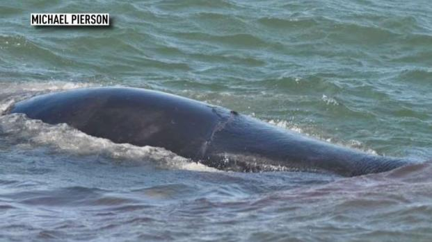 [BAY] Humpback Whale Struck and Killed by Ship on SF Bay