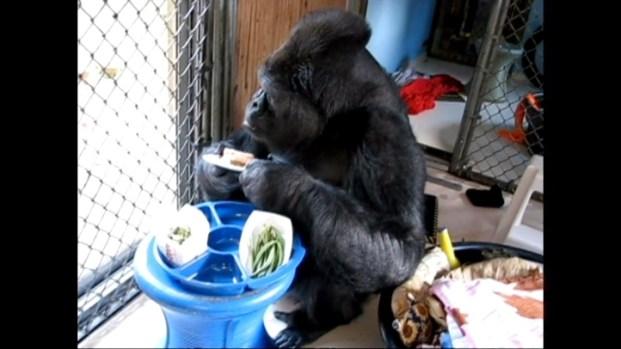 Raw Video: Koko at Home