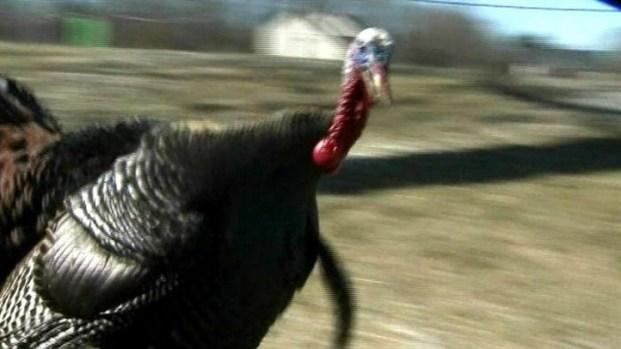 [NEWSC] Turkey Tomfoolery