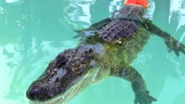 [NATL] Alligator Gets a New Tail