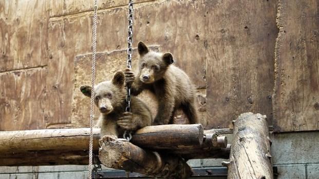 [BAY] Lake Tahoe Bear Cubs