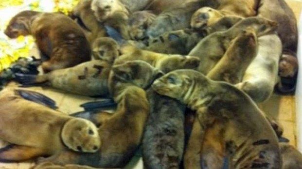 [DGO] Sea Lion Pup Rescues Stump Scientists