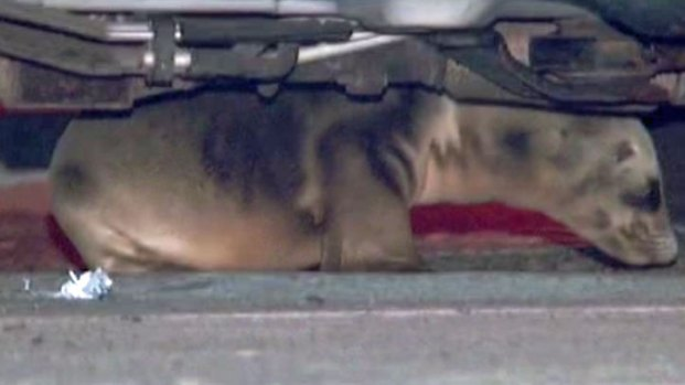 [DGO] Cops Rescue Sea Lion Pup Under SUV