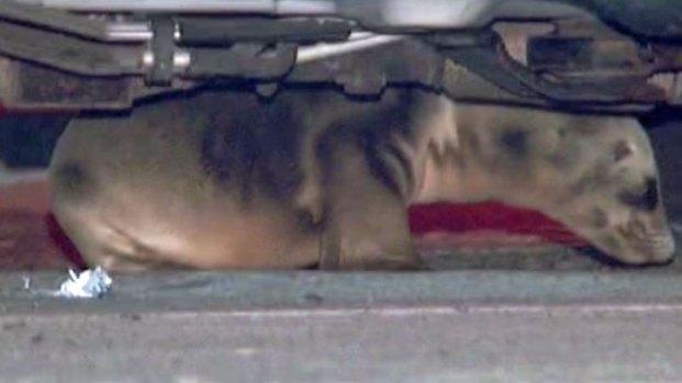 [DGO] Cops Rescue Sea Lion Pup Under SUV