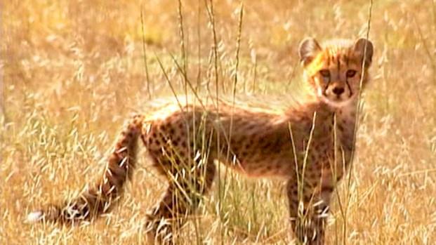 [NEWSC] Adorable Cheetah Cubs at Play