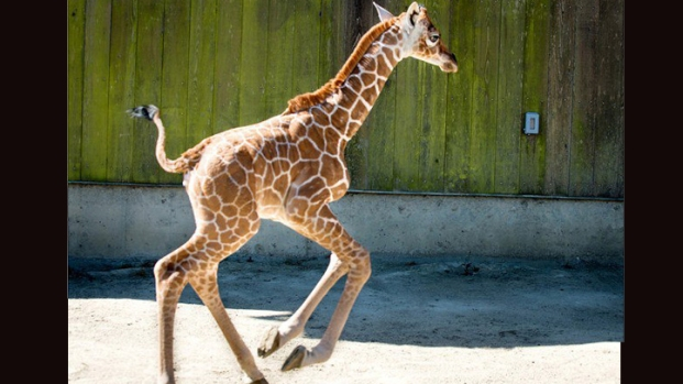 San Francisco Zoo Introduces Baby Giraffe