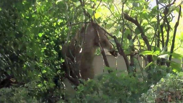 [LA] Raw Video: Mountain Lion Spotted in Glendale