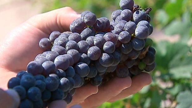 [BAY] Studying Wine on the Vine