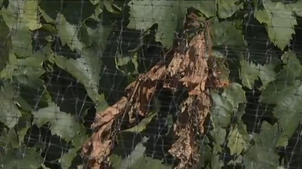 [BAY] Raw Video: Hot Temps Affect Grapes in Livermore