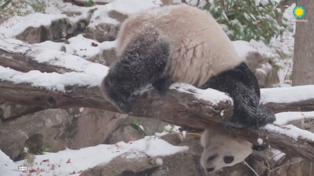 [NATL-DC] Watch: Bei Bei is Having a Blast in the Snow