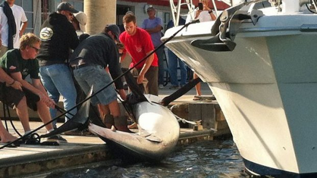 Giant Shark Caught, Brought in to Marina del Rey
