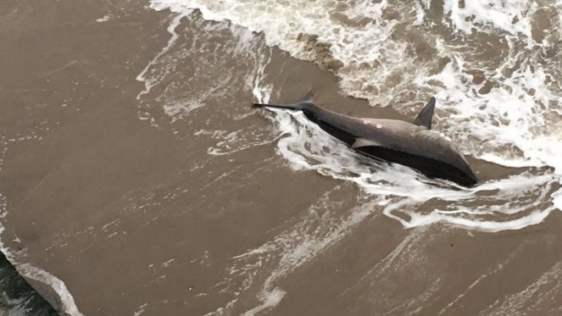 White Shark Washes Ashore on Santa Cruz Beach, Feared Dead