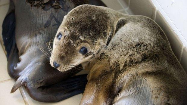[NATL-V-LA] Sick Sea Lions Overwhelming Rescuers