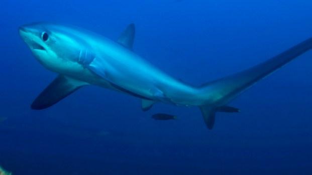 [NATL-V-MI] Thousands of Sharks Migrate Off South Florida Coast