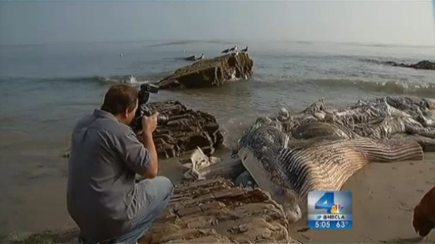 [LA] Whale Carcass Continues to Rot on Malibu Shore