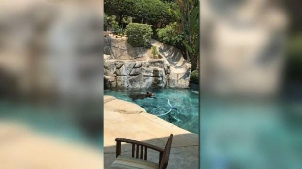 [NATL-LA] Bear Takes a Dip in La Verne Pool