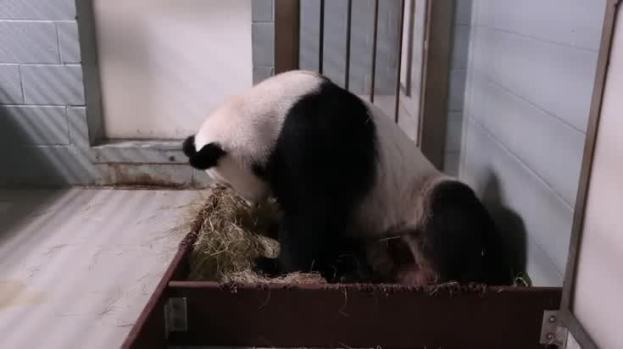 Giant Panda Gives Birth to Twins in Atlanta