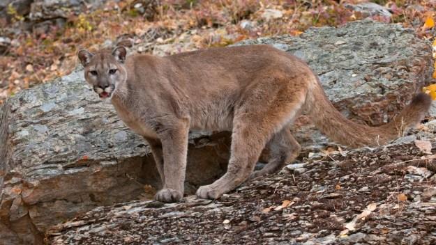 Mountain Lion Causes Crash in California, Injuring 9 People