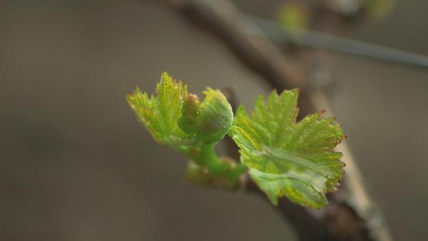 Livermore Winemakers Warily Welcome Spring