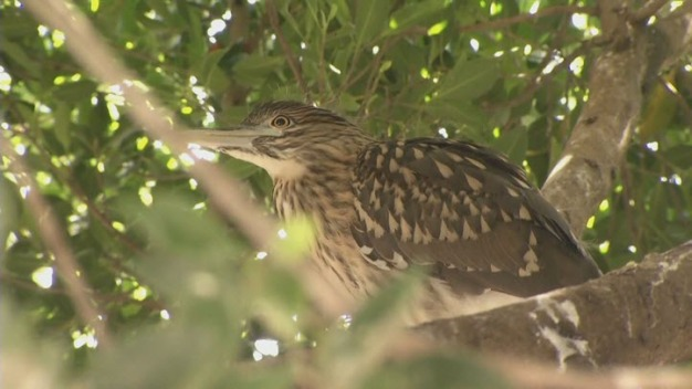 Bird Colony Forced Out By Development Rescued in East Bay