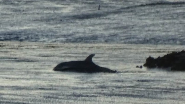 Stranded Juvenile Dolphin Rescued in Monterey County