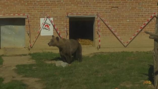 Kosovo Rescues 'Tomi' the Brown Bear and Friends