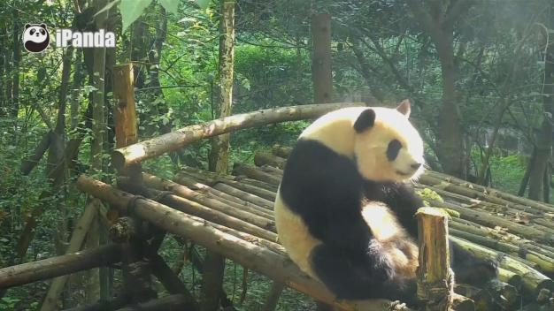 Chinese Panda Gets in Shape With Sit-Ups