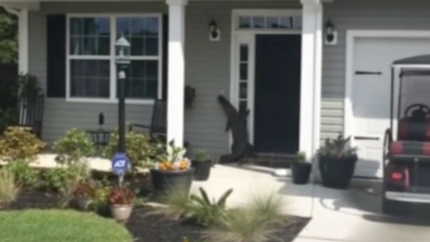 Lost Alligator Tries to Ring Doorbell at Florida Home