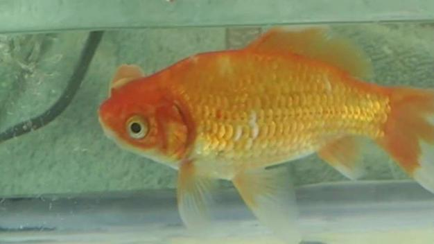Berkeley Bans Goldfish Prizes