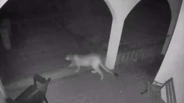 Cougar Caught on Camera Just Outside Morgan Hill Home