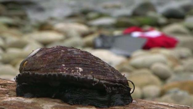Drastic Die Off in Abalone Population