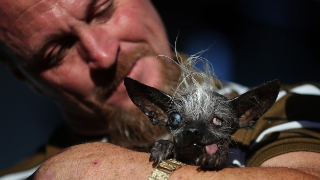 Sweepee Rambo Sweeps World's Ugliest Dog Competition