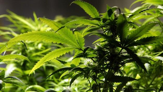 Businesses Seek Licenses to Sell Recreational Weed on Jan. 1