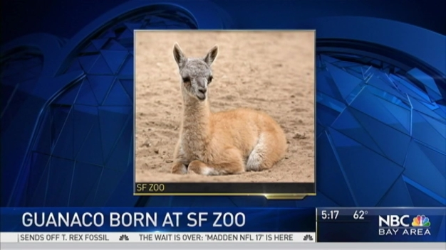 Guanaco Born at San Francisco Zoo