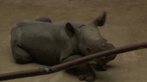 Great Plains Zoo Debuts  Baby Rhino