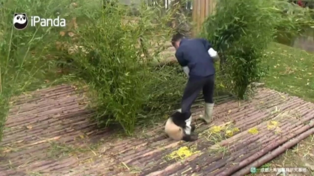 Attention-Seeking Panda Cub Clings to Keeper's Leg