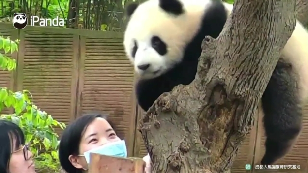 Not a Fan: Panda in China Declines Selfie Request