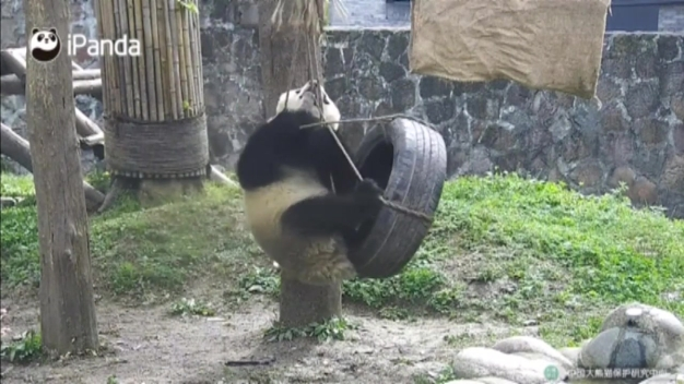 Stay Fit: Video Captures Pandas Working Out