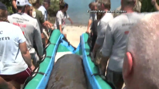 Back Home: Rehabbed Manatee Returns to Natural Habitat in Florida