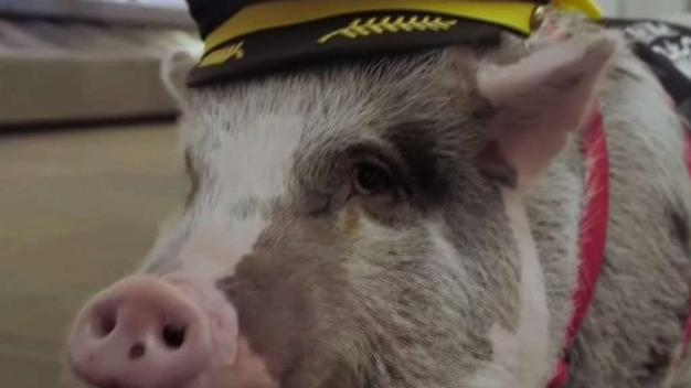 """Lilou the Therapy Pig Joins """"Wag Brigade"""" at SFO"""