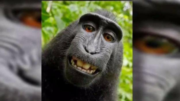 US Appeals Court Rejects Copyright Suit Over Monkey Selfies