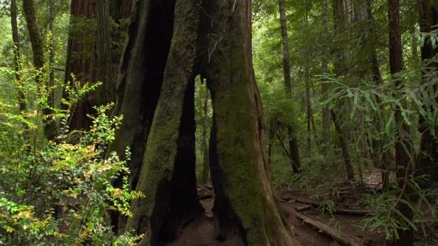 Santa Cruz Mountain Redwoods