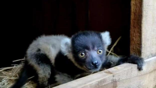 San Jose's Happy Hollow Zoo Shows Off Baby Lemur