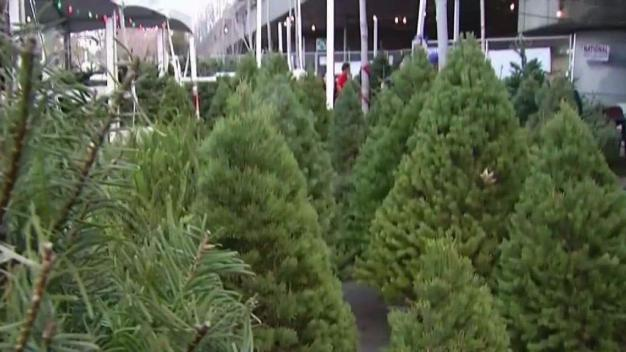 Shortage Prompts Christmas Tree Prices to Rise