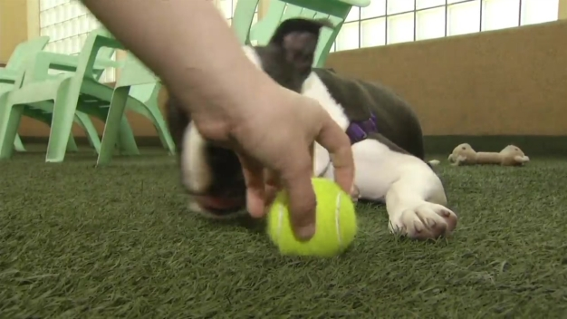 RAW VIDEO: Pit Bull Recovering After Case of Animal Abuse