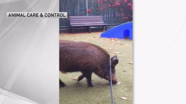 Wild Boar on Leash Surrendered to Animal Control in SF