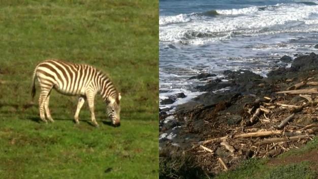 Dead Zebra Washes into Ocean, Spotted near Hearst Castle