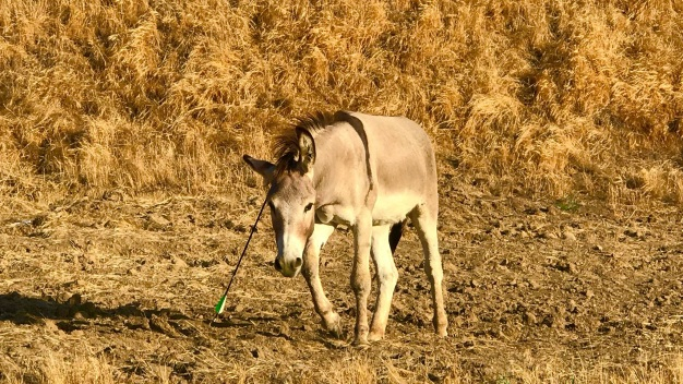 Animal Control Officers Try to Rescue Burro Shot With Arrow