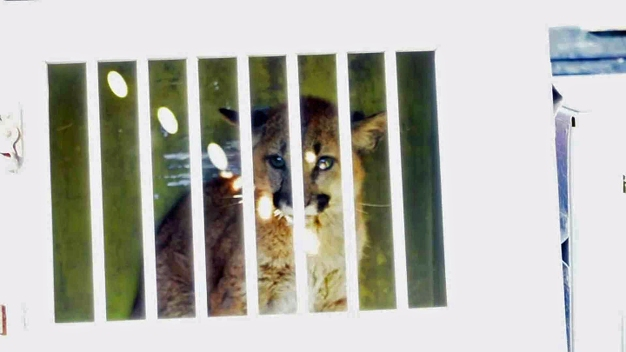Two Orphaned Mountain Lion Cubs to Stay at Oakland Zoo